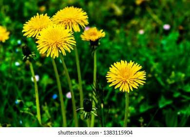 vibrant colors dandelion flowers in uncultivated countryside field
