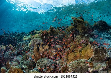 A vibrant coral reef thrives near the island of Alor in Indonesia. This tropical Pacific region is home to an extraordinary amount of marine biodiversity.