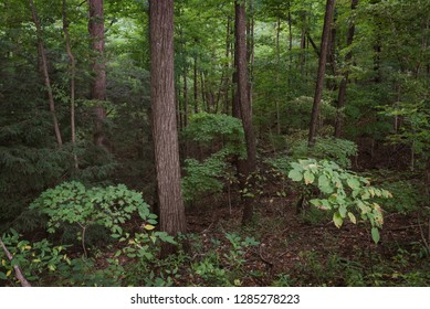 Vibrant Deciduous Forest Background on Pretty Summer Day