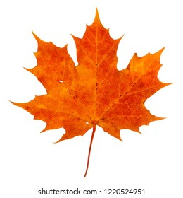 Vibrant detailed colorful autumn leaf on white background.