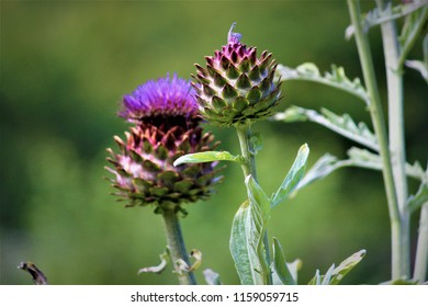 A vibrant edible Scottish cardoon plant in bloom