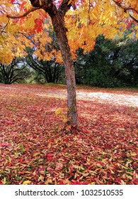 Vibrant fall tree and fallen leaves