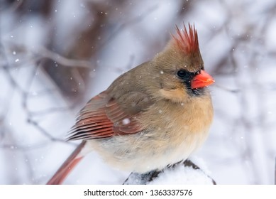 Vibrant female red cardinal bird on branch. Close up with soft focus snow in background.