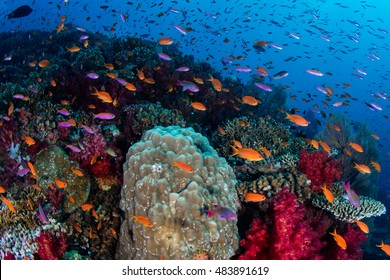 Vibrant fish swarm above a colorful, healthy coral reef in Fiji. This South Pacific island group is a favorite destination for scuba divers, snorkelers, and adventure-seekers.
