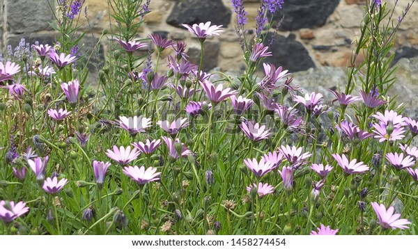 Vibrant flowers growing in a garden with stone background.