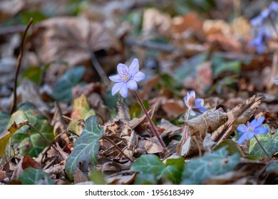 Vibrant flowers of Hepatica transsilvanica or large blue hepatica.