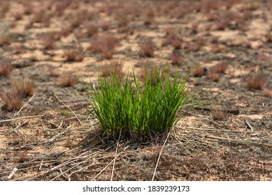 Vibrant fresh green tuft of grass in a dry sand land surrounded by sun scorched grass