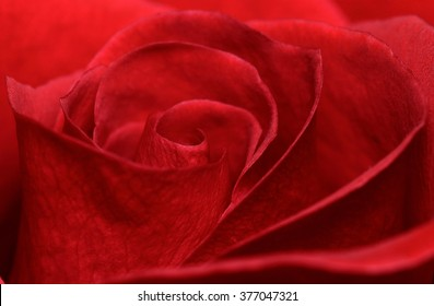 Vibrant fresh red rose close up. Rose head macro photo background.
