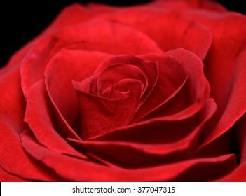 Vibrant fresh red rose isolated on black macro photo/Red rose isolated on black