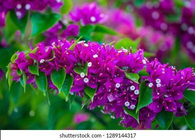 Vibrant Fuchsia Bougainvillea Flowers in Bloom