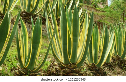 Vibrant green Agave plants growing on the hillside garden in Chachapoyas, Amazonas region of Peru