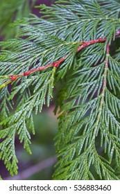 Vibrant green cedar branches in a dark forest