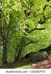 vibrant green early summer forest on a steep slope with tall beech trees growing in rocky ground and sunshine on bright green leaves