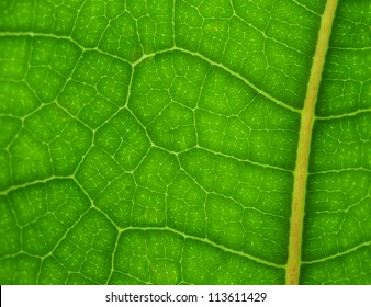 Vibrant green fiddle leaf close up for backgrounds or to see veins and cells, sharp at center, blur toward sides