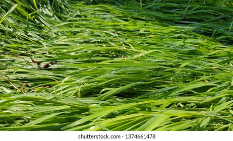 Vibrant green grass texture with water drops after rain. Wet herbs in sunlight on the meadow. Fresh grass background. Spring growth backdrop. Summer plants