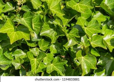 Vibrant green ivy leaves in sunlight.