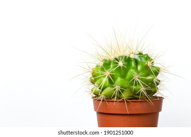 Vibrant green potted cacti against a white background with copy space. House plant nature spikey flora