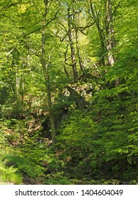 vibrant green spring woodland in a steep rocky hillside valley with tall beech trees in nutclough woods near hebden bridge