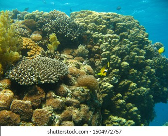 A vibrant and healthy coral reef in the Red Sea