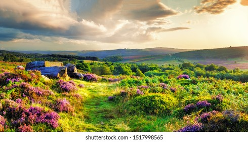 Vibrant heather being illuminated with golden light at Bamford Edge in the English Peak District.