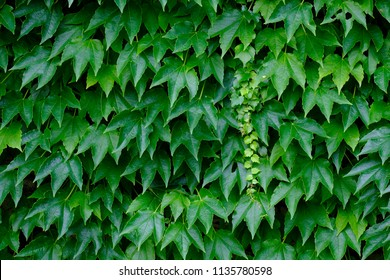 Vibrant ivy wall background.