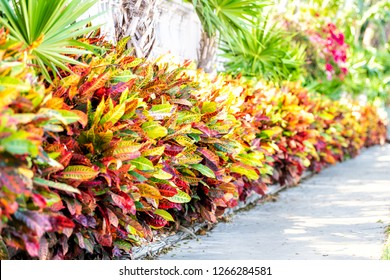Vibrant leaves of codiaeum variegatum or petra croton tropical plant in landscaped garden with wall along street sidewalk in Key West, Florida