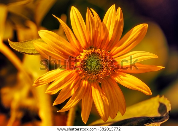 Vibrant macro portrait of an orange marguerite/daisy blossom,bright sunlight, blurred natural background,detailed texture,taken in summer or spring