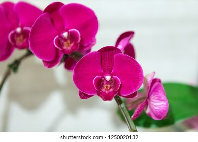 Vibrant Magenta Orchids on Display at Botanic Gardens in Singapore