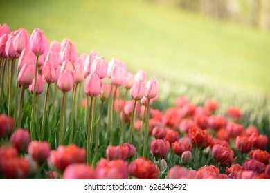 A vibrant meadow of blooming pink and red tulips under the shining sun. An amazing spring background. Perfect for postcards and posters.