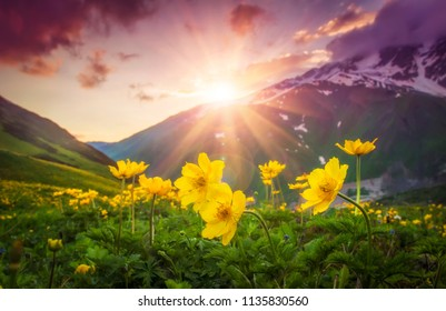 Vibrant mountain landscape with yellow flowers on foreground at sunset in Svaneti region of Georgia. Colorful sky over mountains and flowers on green meadow. Bright sunbeams over mountain. Sunrays