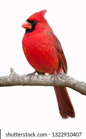 Vibrant Northern Cardinal Isolated on White Background