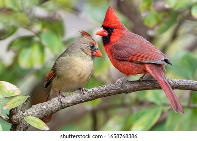 Vibrant Northern Cardinals Perched on Branch in Louisiana Winter
