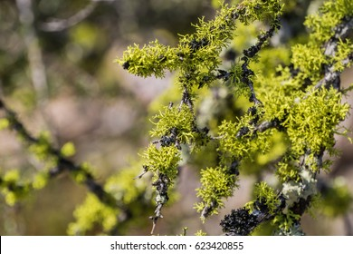 Vibrant oak moss (Evernia prunastri) growing on branches, Pinnacles National Park, California