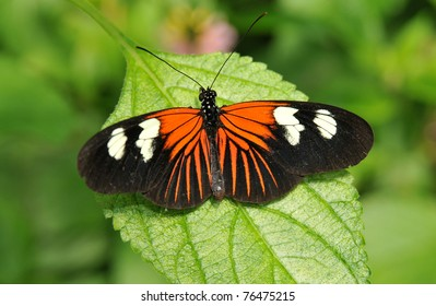 Vibrant orange, black and white Doris butterfly