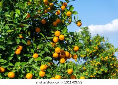 Vibrant orange citrus fruits on a Kumquat tree against blue sky