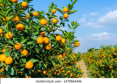 Vibrant orange citrus fruits on a Kumquat tree against blue sky