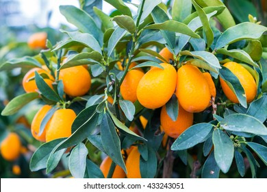 Vibrant orange citrus fruits on a Kumquat tree
