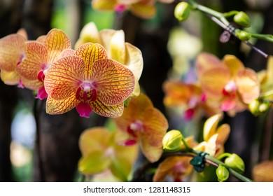 Vibrant Orange Striped Orchids at Botanic Gardens in Singapore