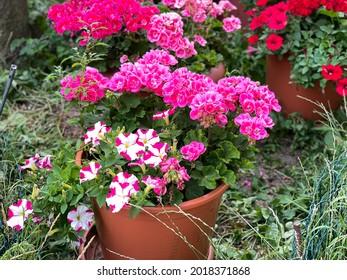 Lebhafte, rosafarbene Blütenblätter und Gürtelblumen aus Geranium in dekorativen Blumentöpfen im Sommergarten im Frühjahr