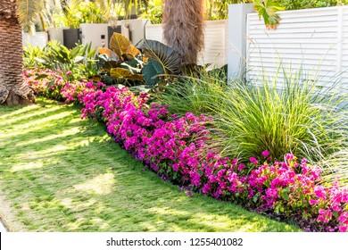Vibrant pink bougainvillea flowers in Florida Keys or Miami, green plants landscaping landscaped lining sidewalk street road house entrance gate door during summer
