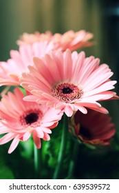 Vibrant Pink Daisy Flowers
