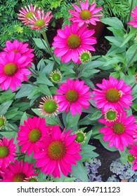 Vibrant pink Echinacea Purpera flowers in bloom during summer