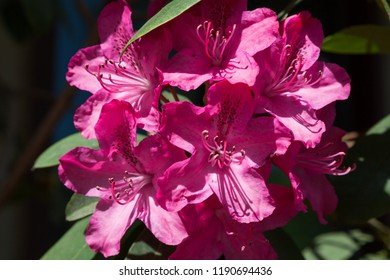 A vibrant pink group of blooms on a rhododendron plant highlighted by the afternoon sunshine with dramatic shadows.