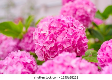 Vibrant pink. Hydrangea blossom on sunny day. Pink hydrangea in full bloom. Flowering hortensia plant. Blossoming flowers in summer garden. Showy flowers in summer.