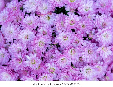 Vibrant pink mauve chrysanthemum flowers close up.