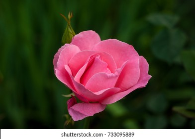 Vibrant pink rose blooming in the garden. Tender pink flower growing in the garden.