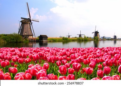 Vibrant pink tulips with Dutch windmills along a canal, Netherlands