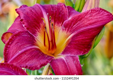 Vibrant pink and yellow lily, closeup