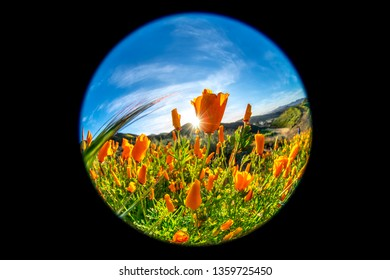Vibrant poppies blooming on a hillside in Lake Elsinore bounce to the gentle breeze during a bright day.