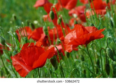 Vibrant poppies in green field
